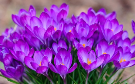 crocuses-wallpaper-1343-1474-hd-wallpapers