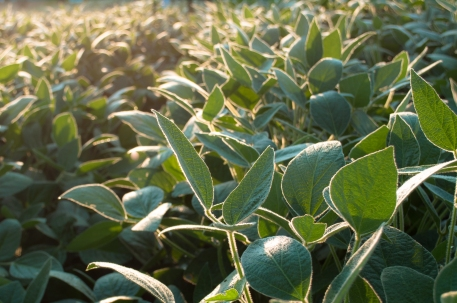 soybean-leaves